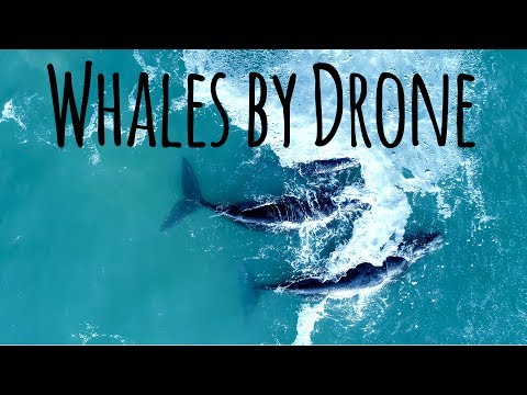 Drone Films 80 Ton Whales in Hermanus - DJI 4K