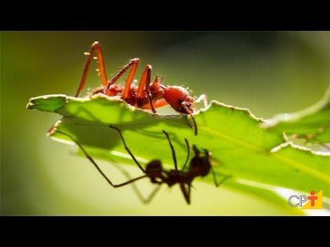 Curso Pragas do Cafeeiro - Formigas Cortadeiras - Cursos CPT