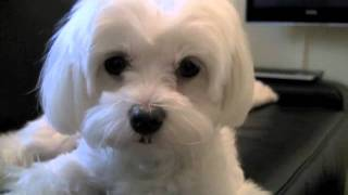Milley Powers - Maltese Terrier