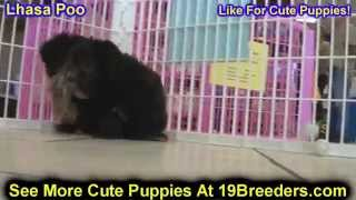 Lhasa Poo, Puppies, For, Sale, In, Jacksonville,florida, Fl,tallahassee,gainesville,
