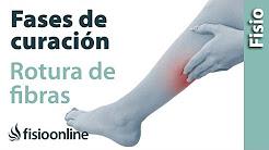 Rotura de fibras o fibrilar - Proceso y fases de curación