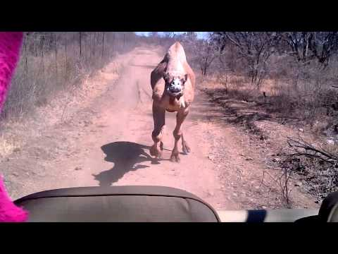 Chased by a Camel
