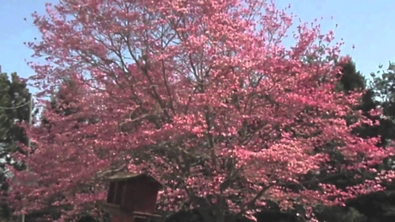 Pink Dogwood Tree Youtube