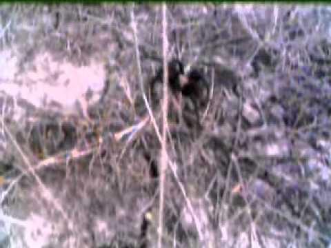 Tarantula In Oklahoma.wmv