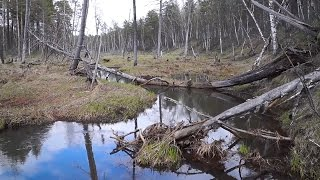Бобры устроили засаду! Рыбалка на малых реках весной