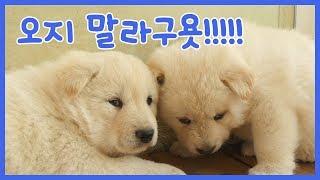 샛별이 새끼들이 벌써 아장아장 기어다닐 만큼 컸어요. 하지만 강아지들...
