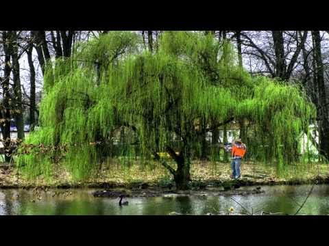 +Wildlife Trees* +Grow Fast+Weeping Willow Tree+Salix babylonica+