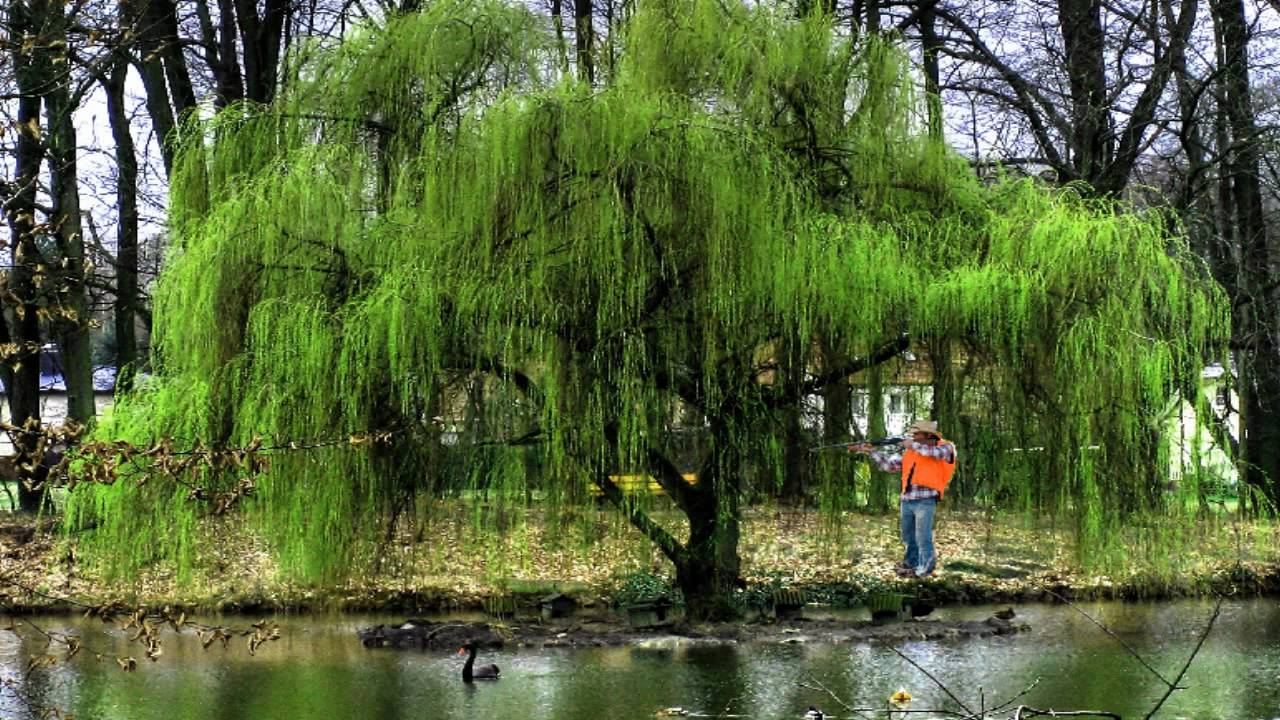 wildlife trees grow fastweeping willow treesalix babylonica, Natural flower
