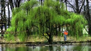 #Wildlife Trees* +Grow Fast+Weeping Willow Tree+Salix babylonica+