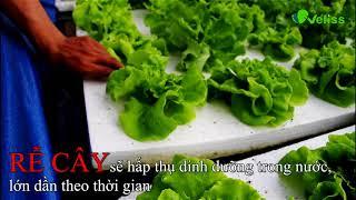 Gambar cover Rau Sạch Aquaponics - Vefiss Farm Việt Nam