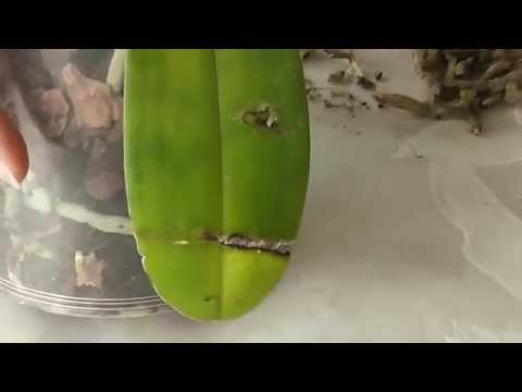 Как снять поврежденный лист с орхидеи