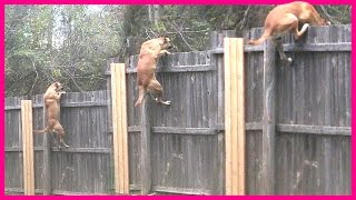 DOG SCALING FENCE CAUGHT ON CAMERA!