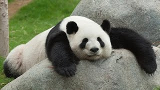 13 Cute Things About Panda