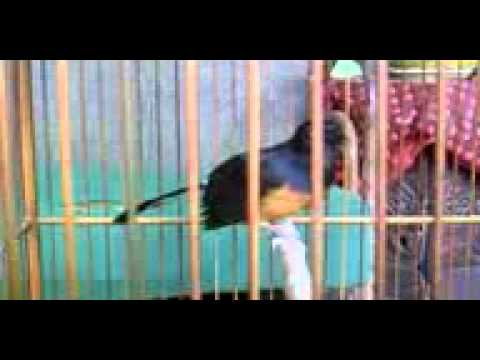 MB betina jinak milik Om Arif Darmawan