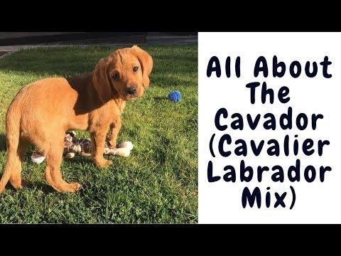 All About The Cavador (Cavalier Labrador Mix)