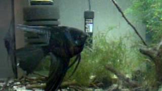 Pterophyllum scalare angelfish  breeding pair Thumbnail