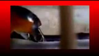 Kicau Mania | Suara Burung ANIS Merah | GACOR Teler Doyong Juara Mantap