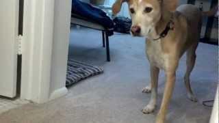 Beagle Mix Hunts Stink Bug