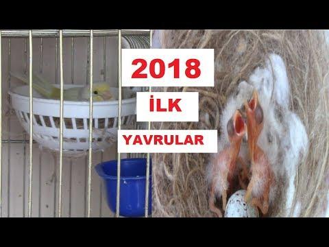2018 Kanarya Üretim Sezonu   İLK YAVRULAR GELDİ !.