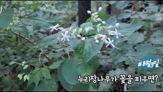 누리장나무가 꽃을 피우면? 자연이 보내는 아침인사 #1…
