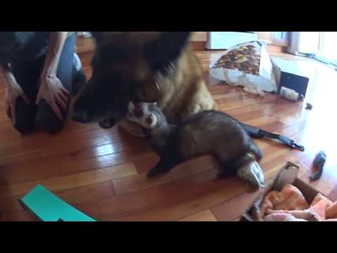 Kami & Wido - Dog and ferret are playing together #1
