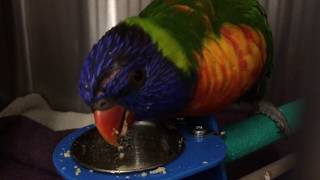 Vet Vlog #4 - Lorikeet Close Up