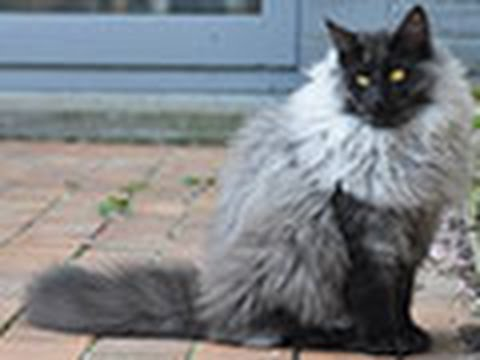 James the Black Smoke Norwegian Forest Cat