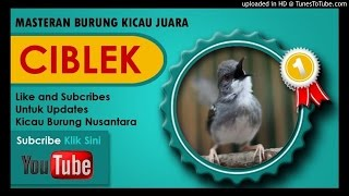 Download lagu Kumpulan Masteran Mp3 Suara Kicau Burung Ciblek Juara Gacor