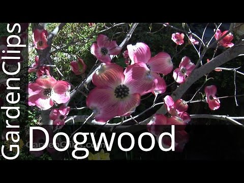 Flowering Dogwood - Cornus florida - How to grow Dogwood Tree