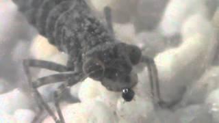 Grossa ninfa di libellula cattura e divora una larva di zanzara