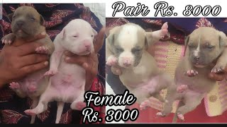 Cheap Price Pitbull Puppies for Sale    jsk pets   