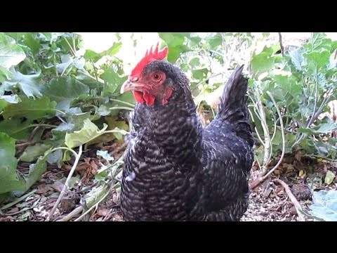 Q & A: How Do I Keep My Free Range Backyard Chickens From Destroying My  Garden?
