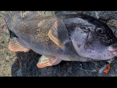 Fall JETTY Tog Fishing W/ Jigs! (nonstop Action)