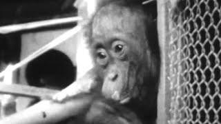 Attenborough Makes Friends with an Orangutan - #AttenboroughWeek - Zoo Quest for a Dragon - BBC
