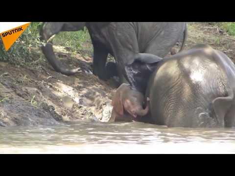 Albino Elephant Living In Limpopo