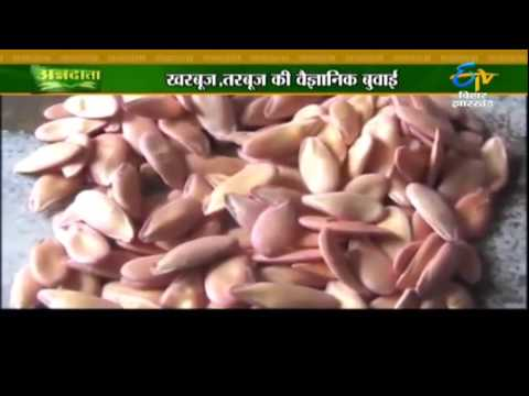 Know how to get better yield of watermelon, muskmelon