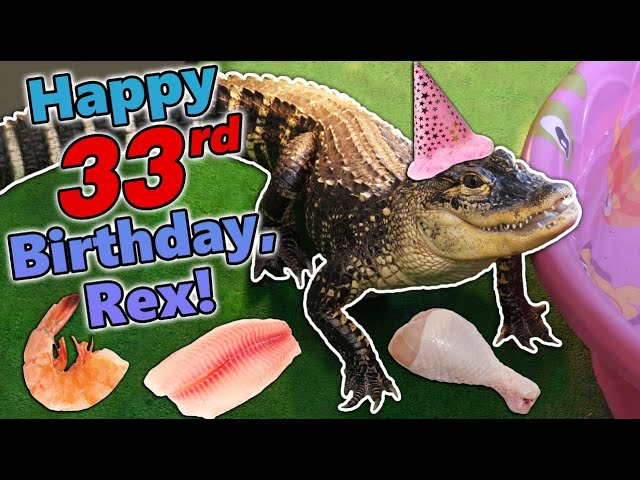 Giving our Alligator a Birthday Feast!