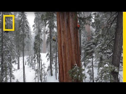 Magnificent Giant Tree: Sequoia in a Snowstorm | National Geographic