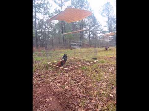 DC Blue Georgia Gamefowl Farm - YouTube