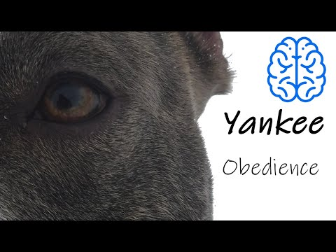 Super American Staffordshire Terrier - Obedience training - #amstaffyankee