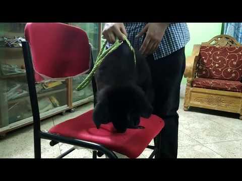Black German Shepherd Dog @ Pet Doctor in Bangladesh @ Dr. Sagir's Pet Clinic 01912251312