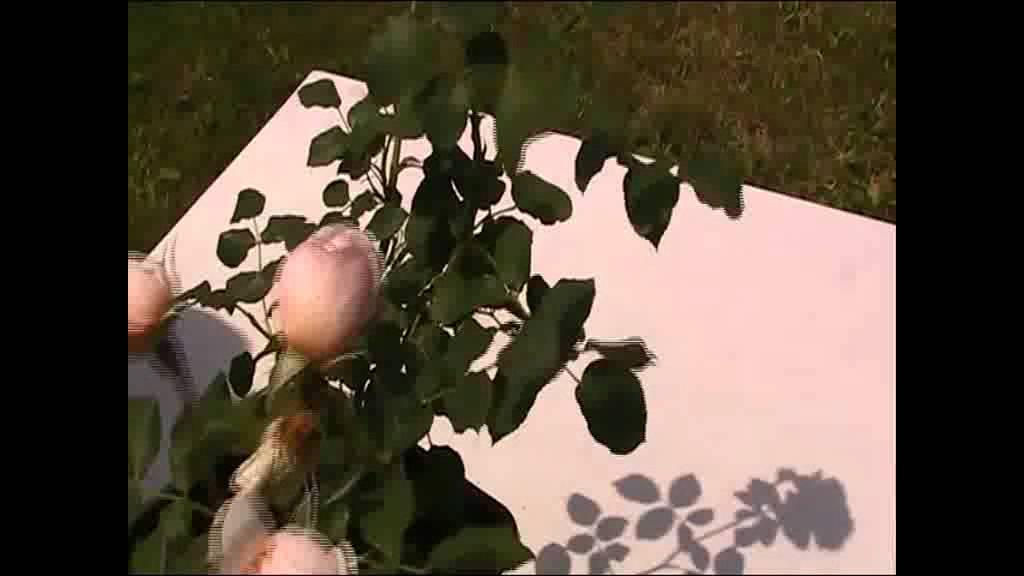 randění růží závislý na randění online