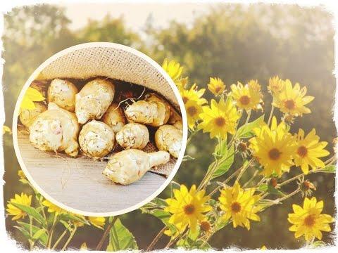ТОПИНАМБУР (земляная груша) - целебные свойства и способы лечения