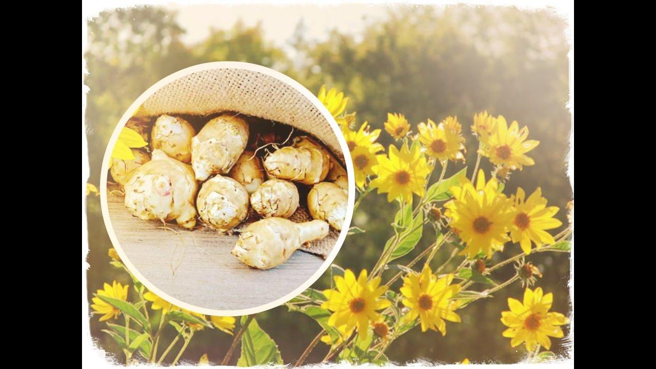 Полезные и лечебные свойства топинамбура — земляной груши, противопоказания