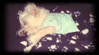 West Highland White Terrier 6 Months / Westie