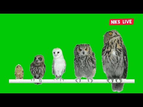 owl-🦉-,-birds-green-screen-pack-1-,-best-green-screen,-vfx-motion-graphics