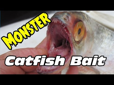 How to catch bait for trophy size catfish:Tooth Herring
