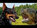 Rottweiler vs Doberman - Dog Videos [Mr Friend]