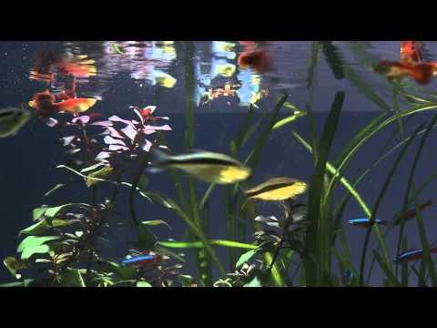 Como hacer comida casera para peces y tortugas doovi for Acuariofilia peces ornamentales