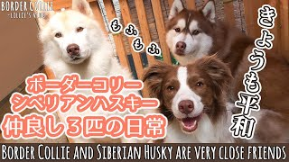 Download lagu 平和すぎる日常 ボーダーコリーとシベリアンハスキー仲良しな3匹 / Too peaceful everyday! Border Collie and Siberian Husky